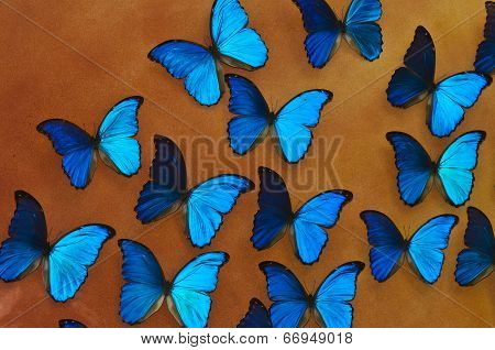 Blue Morpho Butterflies Background