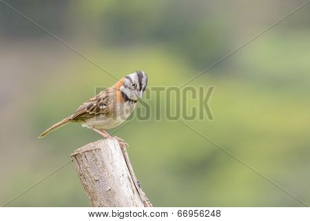 Rufous-collared Sparrow Male