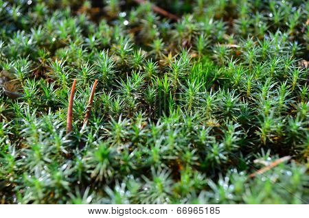 Green moss (Polytrichum commune)