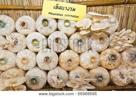 Oyster Mushrooms Or Pleurotus Ostreatus Mushrooms