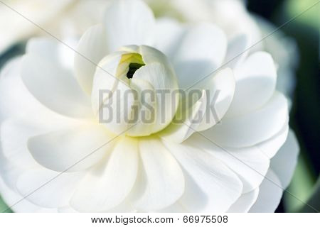 Macro detail of blooming white lotus flower
