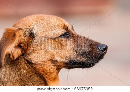 Mutt Rhodesian Ridgeback