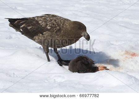 Brown Skua Chick Who Eats Adelie Penguin On Snow