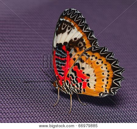 Male Of Leopard Lacewing Butterfly