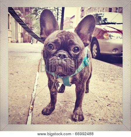 French Bulldog Puppy in NYC