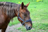 picture of hackney  - Photo of a brown horse in the forest - JPG