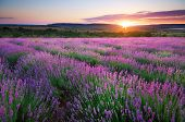 stock photo of lavender plant  - Meadow of lavender - JPG