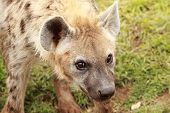 image of hyenas  - portrait of an wild african spotted hyena