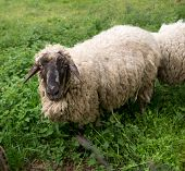 picture of suffolk sheep  - Black - JPG