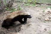 stock photo of badger  - This Honey Badger comes out of his hole in Kruger National Park - JPG