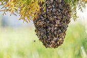 stock photo of sting  - swarm of bees on a tree branch - JPG