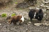 pic of yaks  - Yak mother with baby - JPG