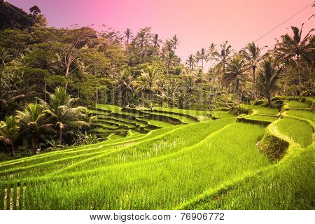 Lush green paddy fields of Bali in the early morning