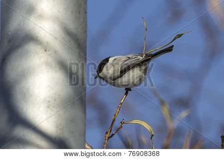 Willow Tit Is Sitting On A Branch Of A Willow And Looks Forward