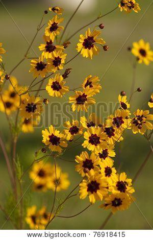 Coreopsis Tinctoria Wildflowers