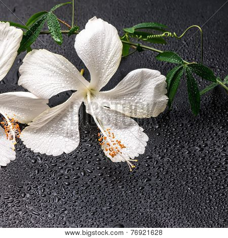 Spa Concept Of Blooming Delicate White Hibiscus, Green Twig With Tendril Passionflower With Drops On