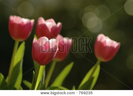 Tulips soaking up the sun