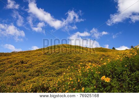 Landscape, Mexican sunflower weed on blue sky (Tithonia diversifolia)