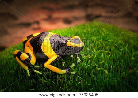 yellow banded poison dart frog dendrobates leucomelas a poisonous animal from the tropical Amazon rain forest of Venezuela