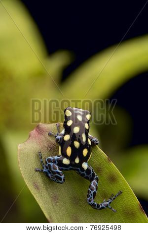 poison arrow frog Ranitomeya vanzolinii from the tropical rain forests of Brazil and Peru
