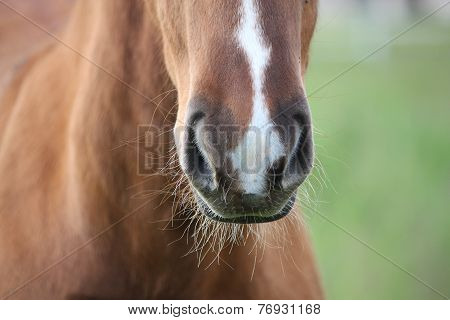 Chestnut Foal Muzzle Close Up