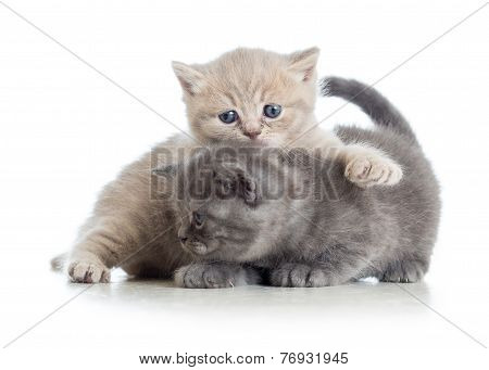 two funny kittens play together