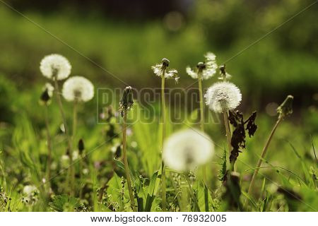 Dandelions Are On The Green Backgrownd With Gerb And Grass