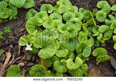 Viola Decorative Leaves