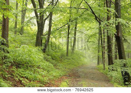 Misty spring forest