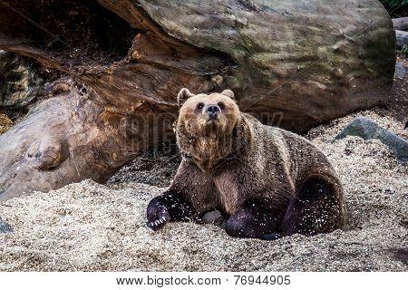 Big Bear Watching