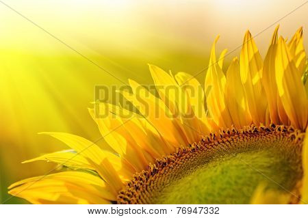 Golden Sunflower In The Field Backlit By The Rays Of The Setting Sun