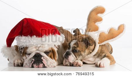 christmas dogs - english bulldog santa and rudolph on white background