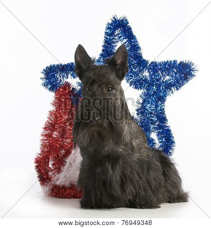christmas dog - scottish terrier standing by christmas decorations on white background