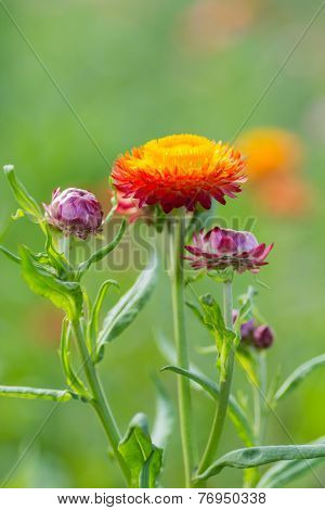 Red Yellow Strawflower