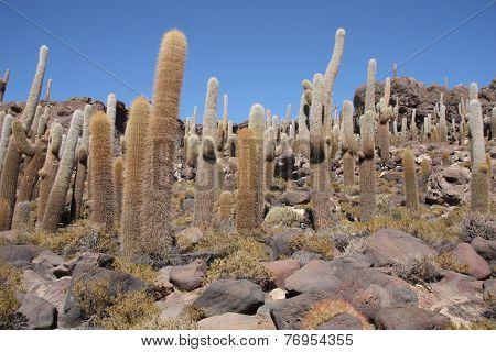 Huge Cactuses, Isla del Pescado, Salar de Uyuni