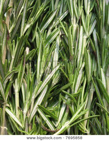 Rosemary (Rosmarinus officinalis) of the family Lamiaceae (Lamiaceae). Background