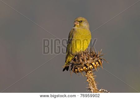 Male European Greenfinch