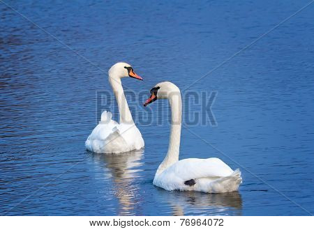 Two White Swans On The Lake Surface.