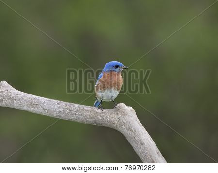 Male Eastern Bluebird Perched