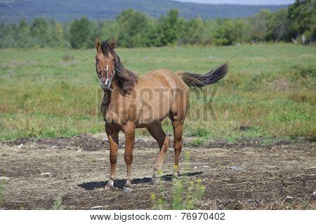 Quarter horse relaxing