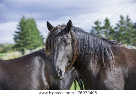 Beautiful Canadian purebred horse
