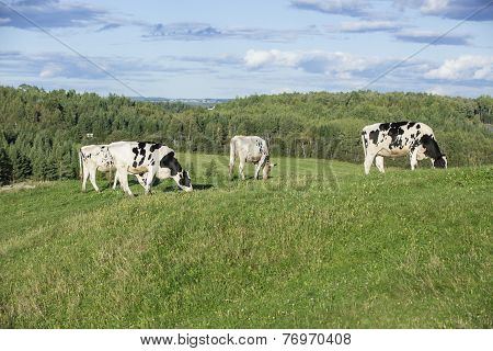 Holstein cattle in a pasture on a beautiful summer afternoon