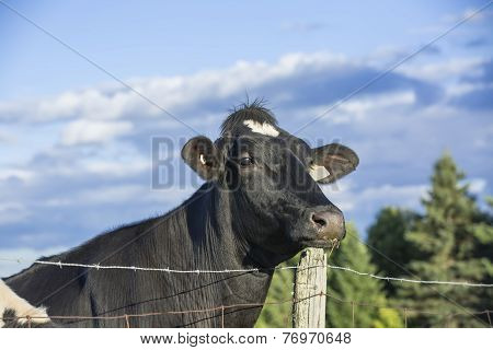 Curious Holstein cow staring over a fence