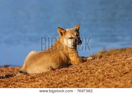 Young Brown Dog Near Water
