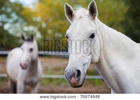 Portrait of purebred white horse