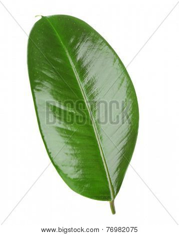 Ficus or rubber plant, isolated on white