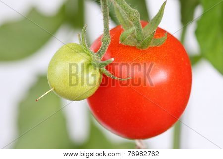 Huge home grown tomato in Europe
