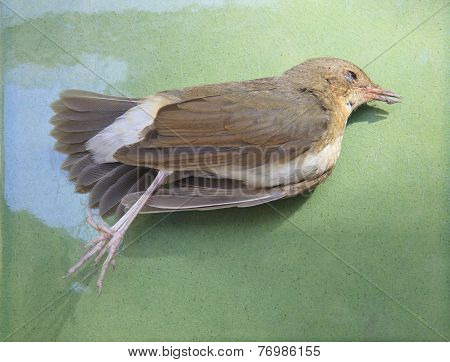 Died Bird On Green For Use For Nature Diaster And Avian Influenza,h5N1