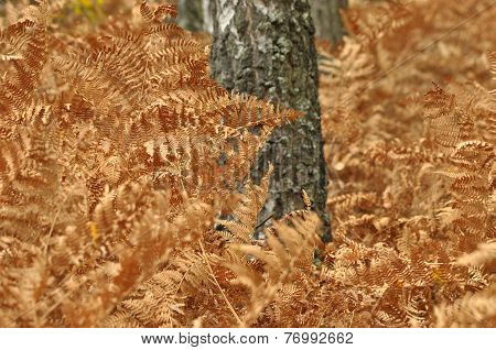 Fern Leaves In The Forest. Dead Leaves. Brown Color. Autumn In The Forest.