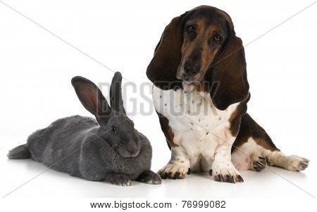 hunting dog - basset hound sitting beside a giant flemish rabbit on white background